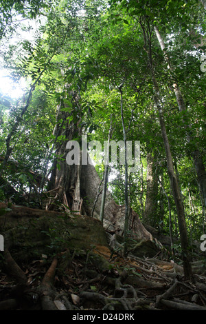 Tall tropical tree with large buttress roots in Ghana, West Africa - Stock Photo