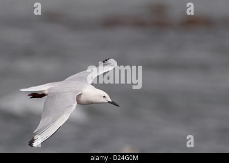 Slender-billed Gull (Chroicocephalus genei) adult, breeding plumage, in flight, Gambia, march - Stock Photo
