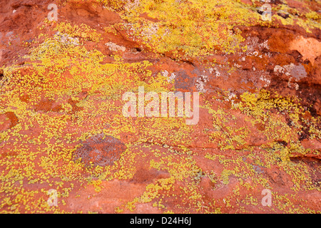 lichen at various stages growing on sandstone rock in the valley of fire state park nevada usa - Stock Photo