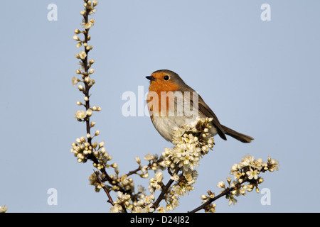 European Robin (Erithacus rubecula) adult, perched on twig with blossom, Warwickshire, England, april - Stock Photo