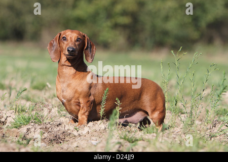 Dog Dachshund /  Dackel / Teckel  shorthaired adult red standing in a field - Stock Photo