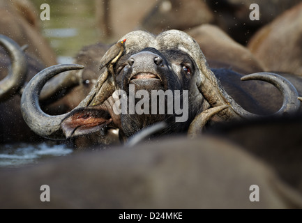 African Buffalo Syncerus caffer adult male close-up head with Red-billed Oxpecker Buphagus erythrorhynchus amongst - Stock Photo