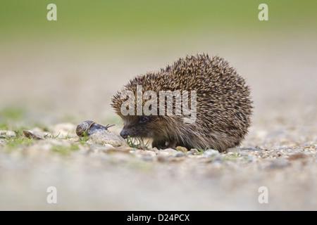 European Hedgehog (Erinaceus europaeus) adult, with Garden Snail (Helix aspersa) on gravel drive, Suffolk, England, - Stock Photo