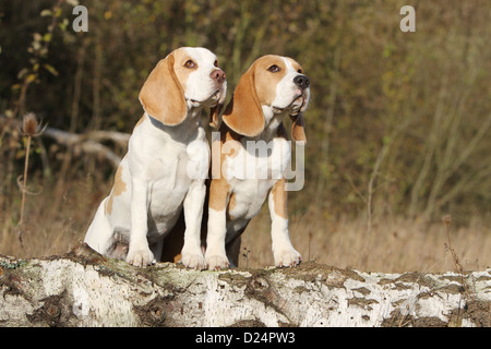 Dog Beagle two adults standing on a wood - Stock Photo