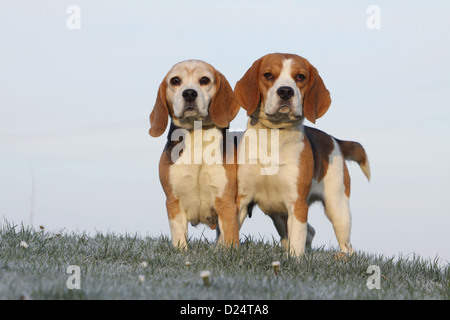 Dog Beagle two adults standing in a meadow - Stock Photo