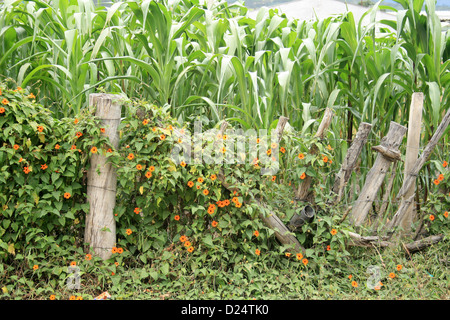 A barbed wire fence covered in ivy and flowers next to a field of corn in Cotacachi, Ecuador - Stock Photo