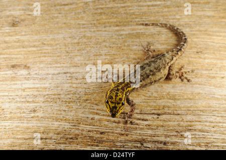 Dwarf Yellow-headed Gecko (Lygodactylus luteopicturatus) adult, Ruaha N.P., Tanzania, january - Stock Photo