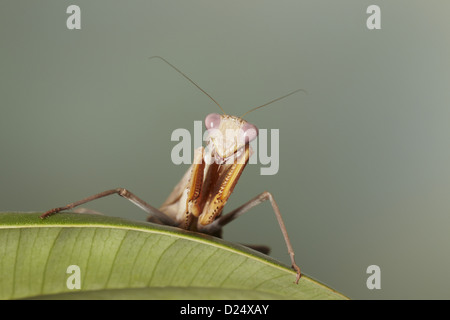 African Praying Mantis (Sphodromantis lineola) adult, resting on leaf (captive) - Stock Photo
