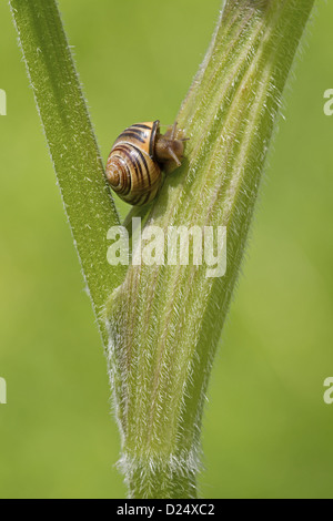 Brown-lipped Grove Snail (Cepaea nemoralis) adult, crawling on stem, Berwickshire, Scottish Borders, Scotland, june - Stock Photo