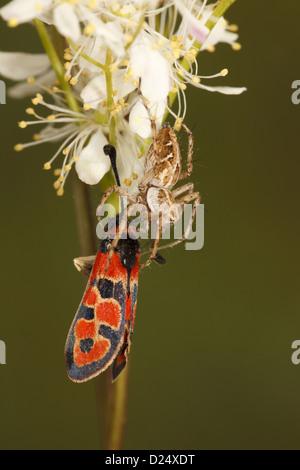 Nursery-web Spider Pisaura mirabilis adult feeding on Auspicious Burnet Moth Zygaena fausta prey Causse de Gramat - Stock Photo