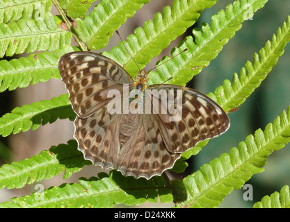 Silver-washed Fritillary (Argynnis paphia valesina) dark form, adult, resting on fern frond, Italy, july - Stock Photo