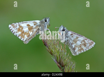 Olive Skipper (Pyrgus serratulae) two adults, resting on grass flowerhead, Italy, july - Stock Photo