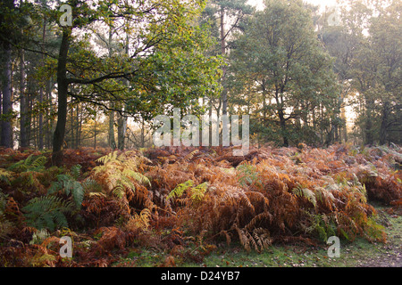 Bracken Pteridium aquilinum fronds in autumn colour growing in woodland habitat dawn Knettishall Heath Reserve Suffolk - Stock Photo