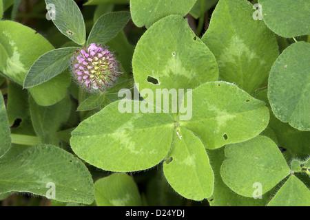 Red Clover Leaf