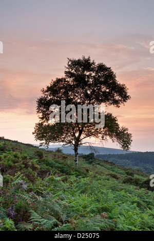 Silver Birch (Betula pendula) habit silhouetted at sunset Luccombe Hill near Webbers Post Exmoor N.P Somerset England - Stock Photo