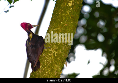 Male Pale-billed Woodpecker (Campephilus guatemalensis). Costa Rica. - Stock Photo