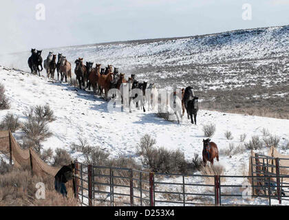 Wild mustangs are led into a corral during a winter round up January 12, 2013 in the Star Ridge portion of the Owyhee - Stock Photo