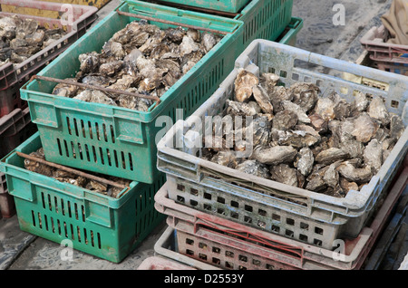 Oysters in plastic containers on fishing boat deck, West Mersea, Essex, England, August - Stock Photo