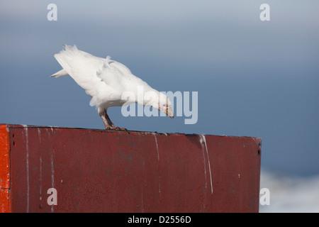 Snowy Sheathbill (Chionis albus) in Hope Bay, Antarctica. - Stock Photo