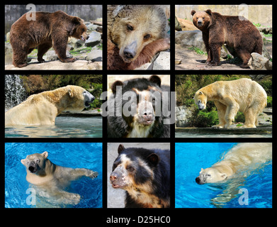 Nine mosaic photos of polar bear (Ursus maritimus) and brown bear (Tremarctos ornatus) and  (Ursus arctos) - Stock Photo
