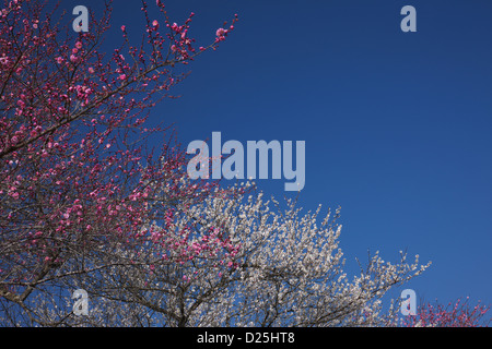 Plum blossoms and blue sky - Stock Photo