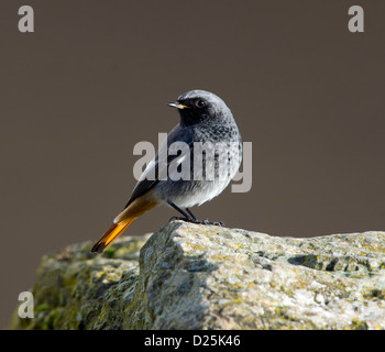 Black Redstart on a rock   (Phoenicurus ochruros) - Stock Photo