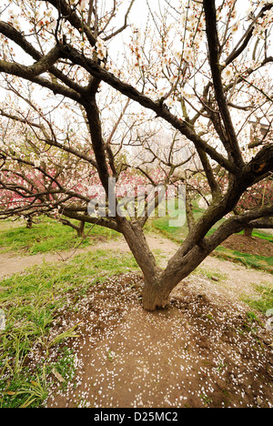 Spring scenery of Cherry Blossom surrounded by unique branches and twig with white background. - Stock Photo