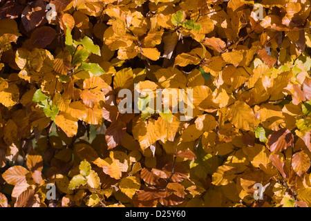 Fagus sylvatica in Autumn. Common Beech hedging. - Stock Photo