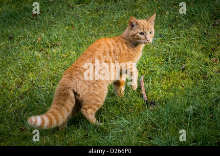 ginger bengal cross cat in garden, alert with fur standing on end and tail fluffed out - Stock Photo