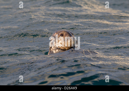 Atlantic Grey Seal Halichoerus grypus Shetland Islands, Scotland UK - Stock Photo