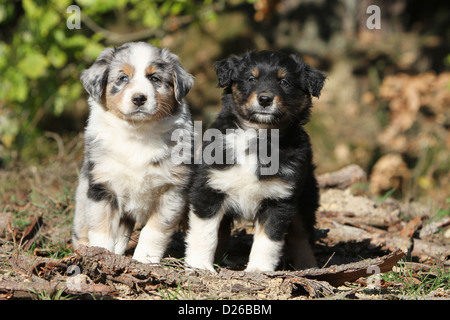 Dog Australian shepherd / Aussie  two puppies different colors (blue Merle and tricolor black) sitting in a forest - Stock Photo