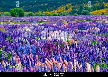 Field of Russell Lupins, Lupinus polyphyllus, in the Eglinton River Valley in Fiordland National Park along the - Stock Photo