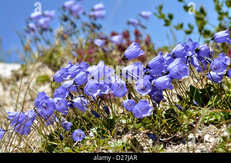 Fairies' thimbles (Campanula cochleariifolia also Campanula cochlearifolia) in the french Alps to La Plagne - Stock Photo