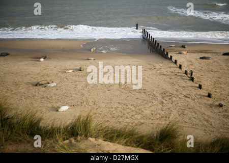 Beach at Sea Palling, Norfolk, in late November, with seals and their pups (Halichoerus grypus). - Stock Photo