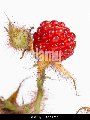 Ripe Wild Raspberry on Stem, Close Up - Stock Photo