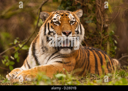 Siberian/Amur Tiger (Panthera Tigris Altaica) Lying Down In Undergrowth - Stock Photo