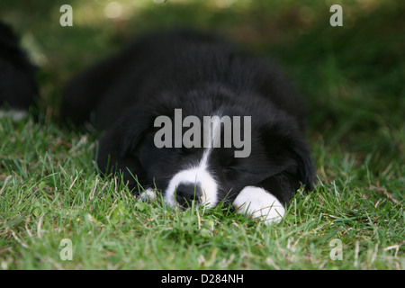 Dog Border Collie puppy sleeping in the grass - Stock Photo