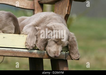 Dog Weimaraner  puppy sleeping on a bench - Stock Photo