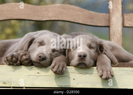 Dog Weimaraner   two puppies sleeping on a bench - Stock Photo