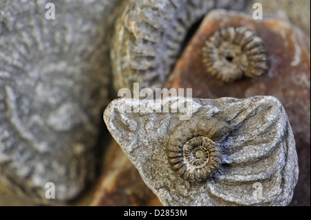 Ammonite fossils (Promicroceras planicosta) on shingle beach, Lyme Regis along the Jurassic Coast, Dorset, southern England, UK Stock Photo