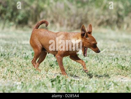 Dog Prazsky krysarik / Prague Ratter / Ratier de Prague  adult standing yawning - Stock Photo