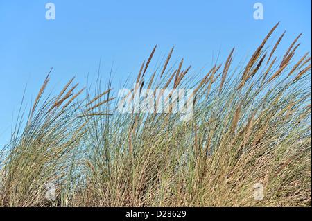 European marram grass / beach grass / beachgrass (Ammophila arenaria) growing as pioneer species along the North Sea coast