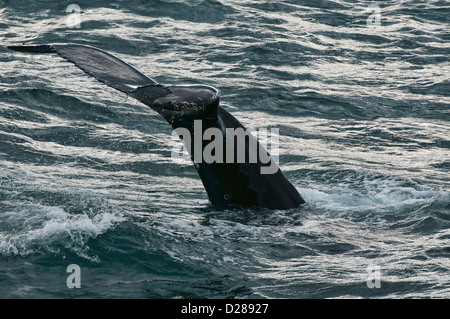 Humpback whale (Megaptera novaeangliae) diving in Husavik, Iceland - Stock Photo