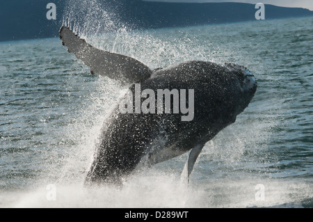 Humpback whale (Megaptera novaeangliae) breaching in Husavik, Iceland - Stock Photo