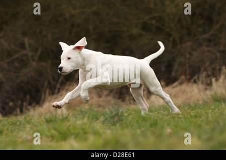Dog Dogo Argentino / Dogue Argentin (natural ears) puppy ...