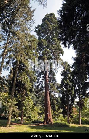 A Sierra redwood big tree (Sequoiadendron giganteum) in the Royal Botanic Gardens, Kew, London, UK. - Stock Photo