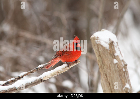 Northern Cardinal male in winter plumage - Stock Photo