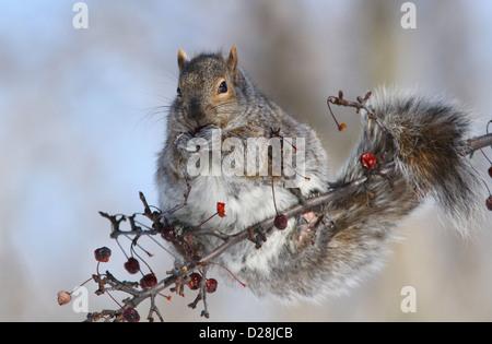 Grey squirrel (Sciurus carolinensis) eating fruits in winter