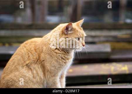 Beautiful golden tabby cat in predatory mode at the Gloucester docks on an overcast winter day. His face is in sharp - Stock Photo