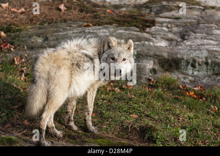 Arctic wolf closeup (Canis lupus arctos) in autumn - Stock Photo